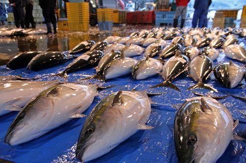 網に入る魚の3割だけいただく持続可能な漁業 ~ 氷見の越中式定置網