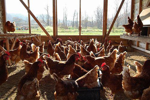 私たちの食べている卵と肉はどのようにつくられているか―世界からおくれをとる日本