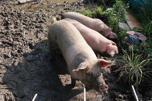 食用豚の多くはどう飼われているか~耕作放棄地で豚を放牧する取り組み